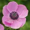 Pink Poppy.<br /> At the Kyoto Botanical Garden.