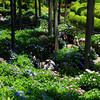 A wider view of the Hydrangea Garden.<br /> At Mimuroto-ji, Uji, Kyoto.