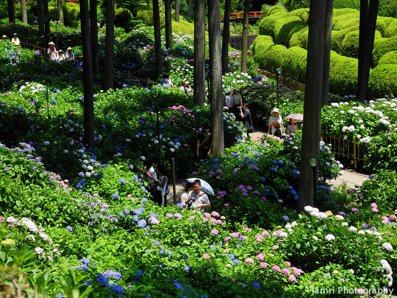 A wider view of the Hydrangea Garden.<br /> At Mimuroto-ji, Uji, Kyoto.