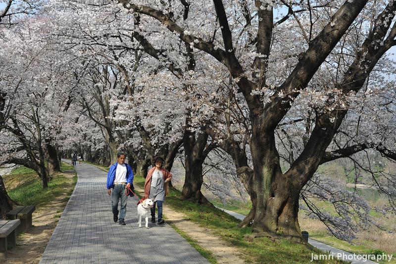 Enjoying a walk through the Sakuras.<br /> At Yawata.