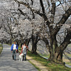 Enjoying a walk through the Sakuras.<br /> At Yawata.
