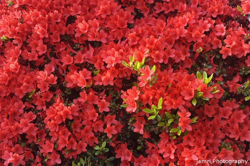 Red Kirishima Azaleas in the Sunlight.<br /> At Nagaoka Tenmangu Shrine, Nagaokakyo, Kyoto-fu, Japan.