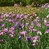 Irises and a Pond