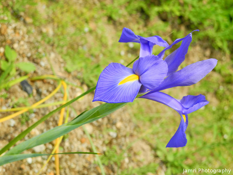 Iris on an Angle.
