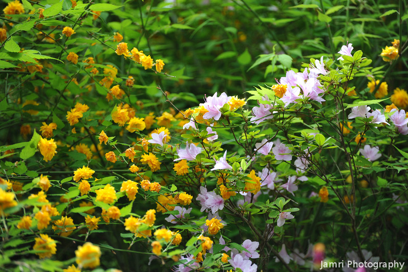 """Yamabuki and Yamatsutsuji.<br /> Yellow Yamabuki (aka """"Japanese kerria"""" (Kerria Japonica) or """"Japanese Rose"""") and Light Pink Yamatsutsuji (Mountain Azalea) at the Kyoto Botanical Garden."""