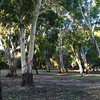 Ghost Gums