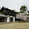 Sakura Tree in the Grounds of Houryu-ji.<br /> Ikaruga-cho, Ikoma-gun, Nara-ken, Japan.