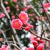 Local Ume.<br /> Plum Blossoms at a grove near by Nagaoka Tenmangu Shrine.