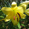 A Yellow Lily.<br /> While I was in Perth, Ritsuko went to a Lily Festival on a mountain in Shiga Prefecture. This is another one of her photos.