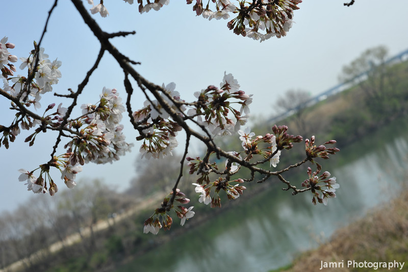 Flowers and the River.<br /> Part of what becomes the Yodogawa (Yodo river) in Yawata.