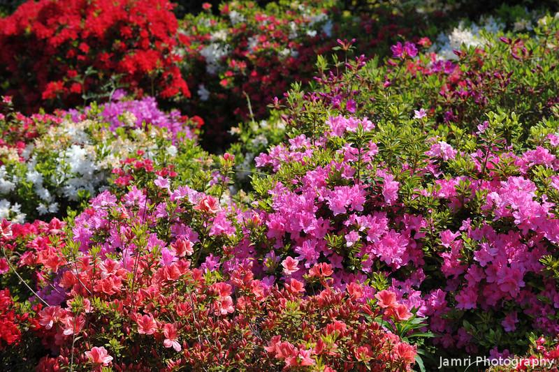 Azalea Colours.<br /> At the Kyoto Botanical Garden.