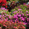 Azalea Colours.<br /> At the Kyoto Botanical Garden.