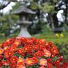 Chrysanthemums  and Japanese Lantern