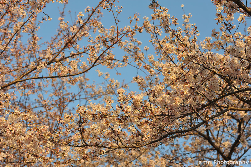 Layers of Sakura.