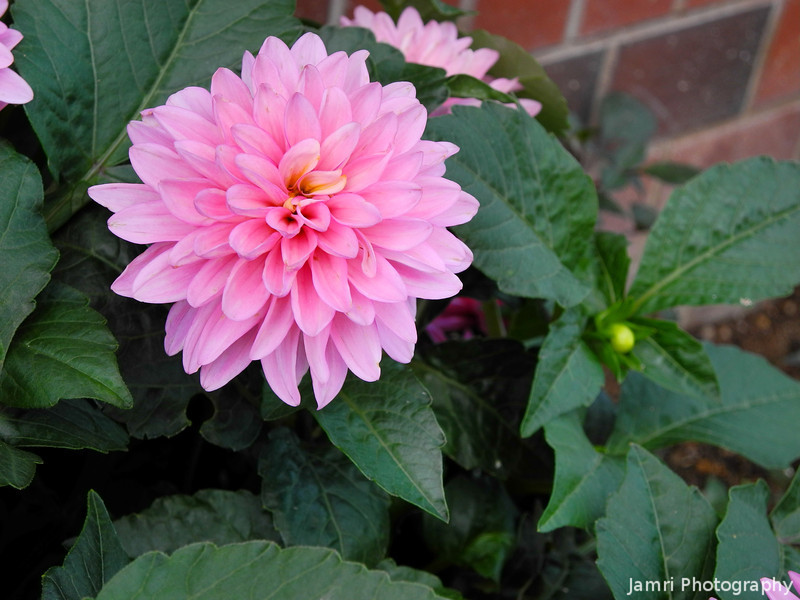 Pink Bloom.<br /> These Dahlias bloom around the same time as the Hydrangeas.