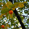 Two Persimmons.