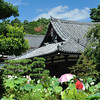 On a hot summer's day in Kyoto.<br /> Viewing the lotuses in the gardens of Houkongou-in Temple.