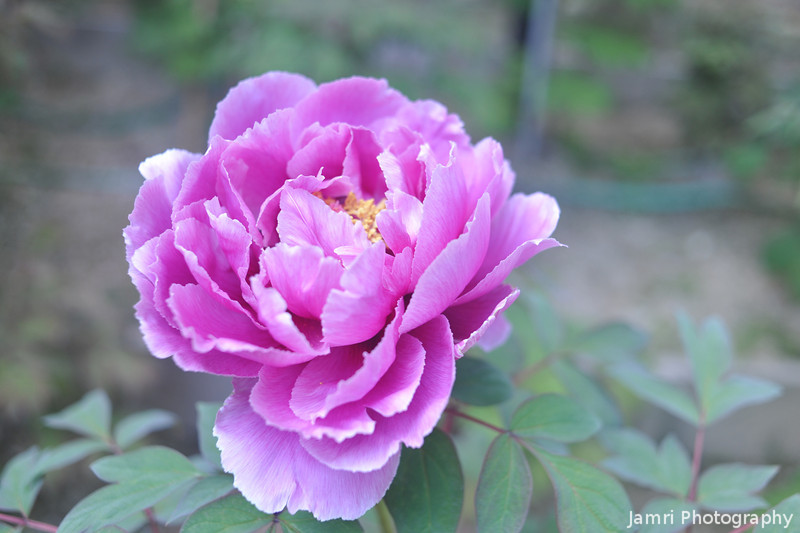 Purple Peony.<br /> At Otokuni Temple in Nagaokakyo, Kyoto-fu, Japan.