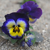 Pansies.<br /> At Fushimi-ku Yodo Shin-Machi in Kyoto.