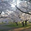 Morning Light on the Sakuras