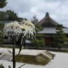 White Saga Chysanthemum