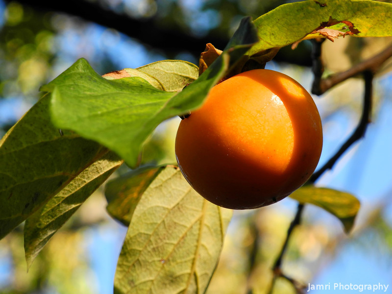 A Close Up of a Persimmon.