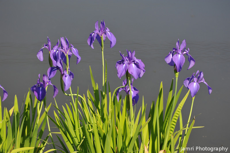 Purple Irises Against the Water