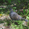 A Pigeon in the Grass.<br /> At the Kyoto Botanical Garden.