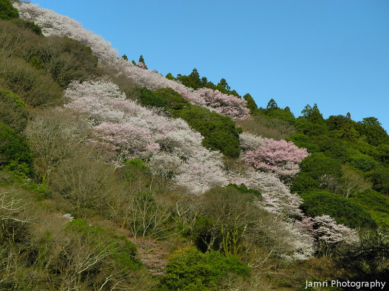 Sakura on a Hill