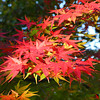 Maple Colours at Kozuya.<br /> In Yawata City, Kyoto Prefecture.
