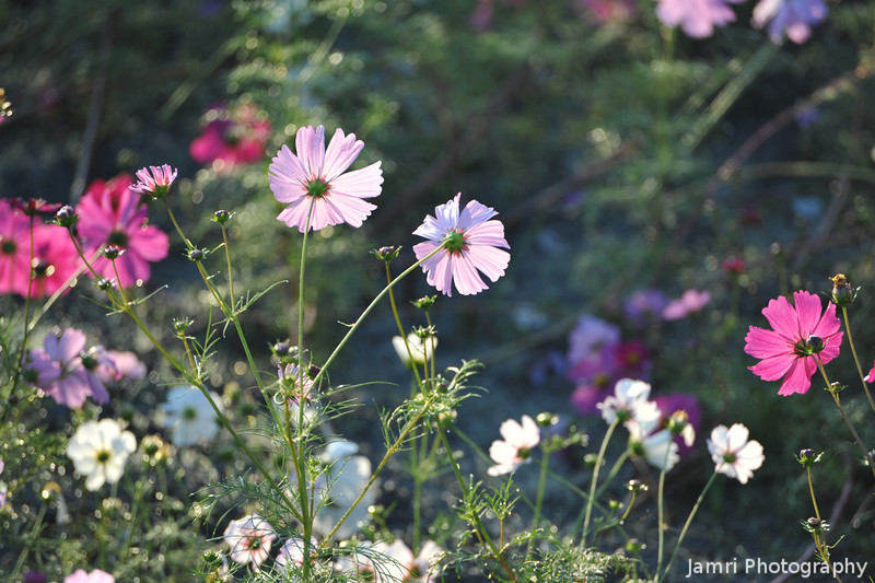 Backlit Cosmos.