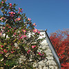 Camellias and Autumn Colour