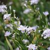 Mini Irises.<br /> At the Kyoto Botanical Gardens.