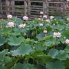 A Lotus Patch