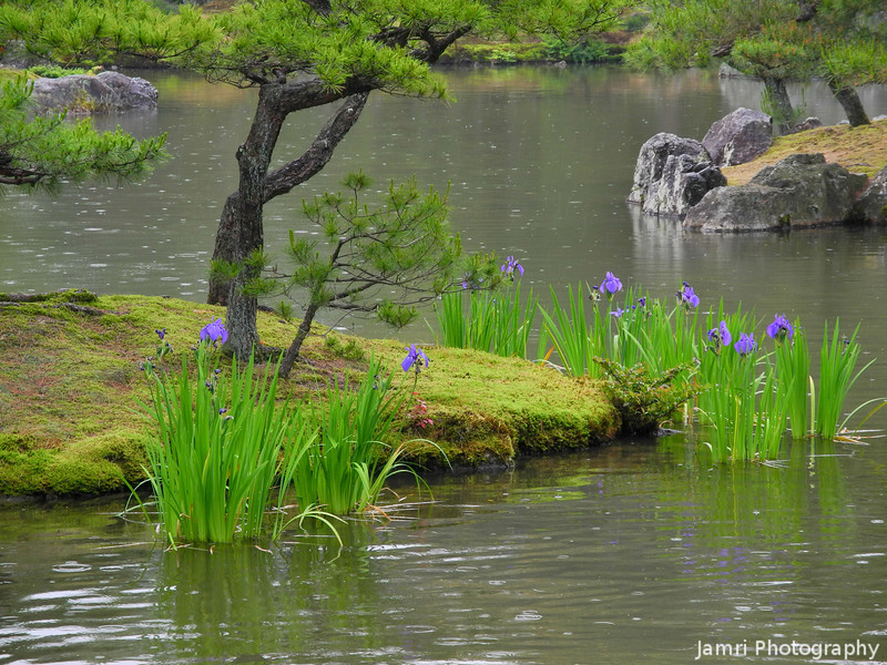 Irises in the Pond.<br /> At Kinkaku-ji Temple, Kyoto.