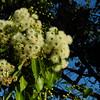 Eucalyptus Blossoms