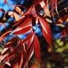 Some Red Leaves