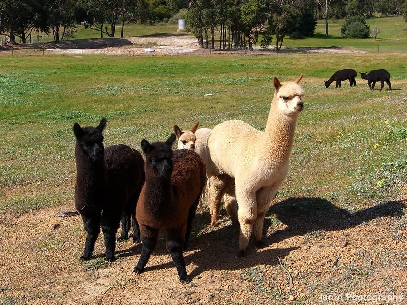 More Alpacas