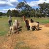 Sheep and Alpacas