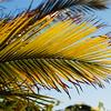 Backlit Palm Leaves