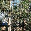 Through the Eucalyptus
