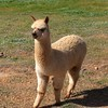 A Portait of an Alpaca