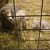A Ewe and Two Lambs