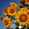 Happy Sunflowers.<br /> One of my students says Sunflowers are her favourite flowers, they are definitely a bright and happy sight in the drier summer time after the dark rainy season.