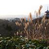 Pampas Grass catching the Last Light.