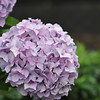 Purple Hydrangea.<br /> Next up a couple of Hotaru (fireflies) shots, probably sometime tomorrow once I've done the post processing.