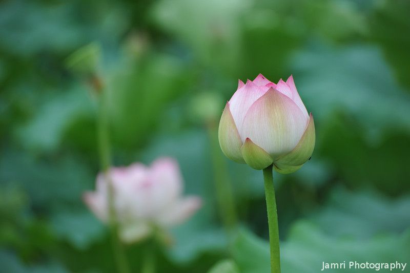 A Lotus Bud.