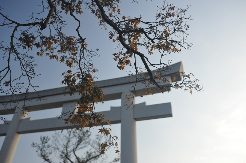 Maple in front of the main torii (gate).