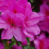 Pink Azaleas.<br /> At Nagaoka Tenmangu Shrine Park.