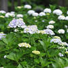 Lots of Hydrangeas.<br /> Well, that's why I went there!